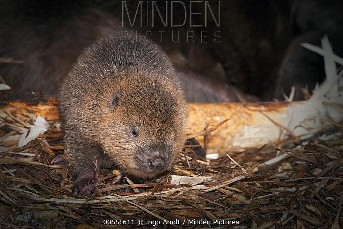 European Beaver (Castor fiber) newborn young inside lodge, Germany