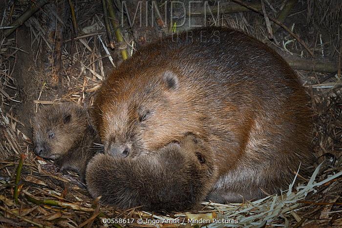 European Beaver (Castor fiber) parent grooming newborn young inside lodge, Germany