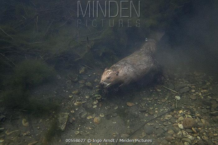 European Beaver (Castor fiber) leaving lodge, France