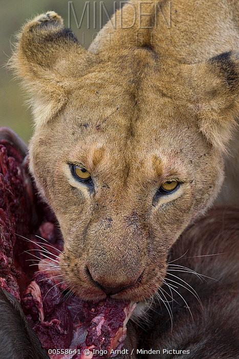 African Lion (Panthera leo) female feeding on Blue Wildebeest (Connochaetes taurinus) kill, Masai Mara, Kenya