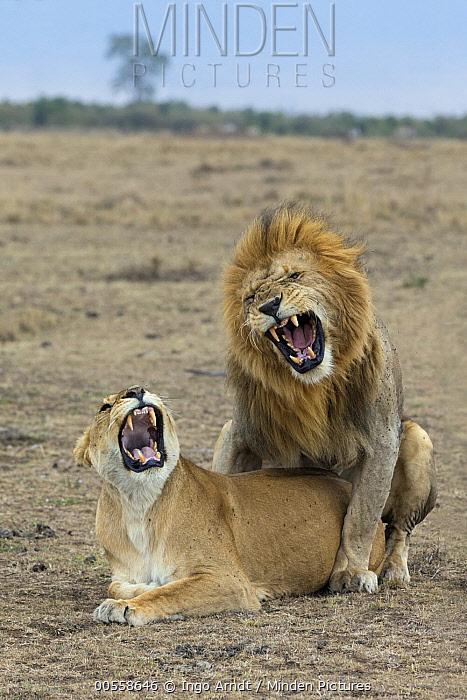African Lion (Panthera leo) male and female snarling during mating, Masai Mara, Kenya