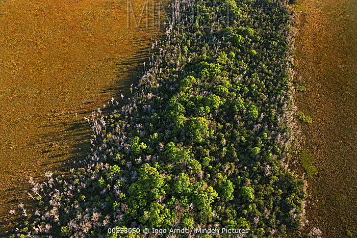 Dwarf Cypress (Taxodium sp) trees in grassland, Everglades National Park, Florida