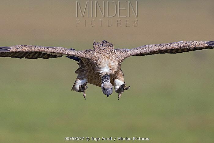 White-backed Vulture (Gyps africanus) landing, Masai Mara, Kenya