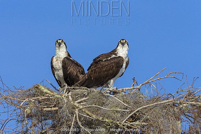 Osprey (Pandion haliaetus) pair at nest, Blue Cypress Lake, Florida