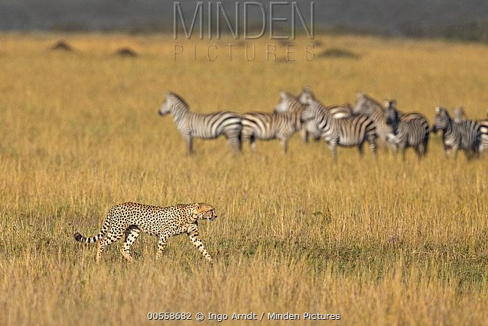Cheetah (Acinonyx jubatus) male walking by Burchell's Zebra (Equus burchellii) herd, Masai Mara, Kenya