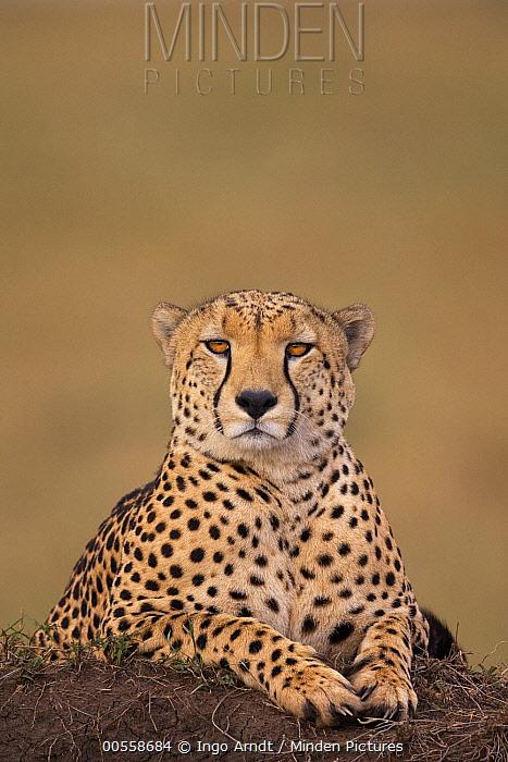 Cheetah (Acinonyx jubatus) male on termite mound, Masai Mara, Kenya