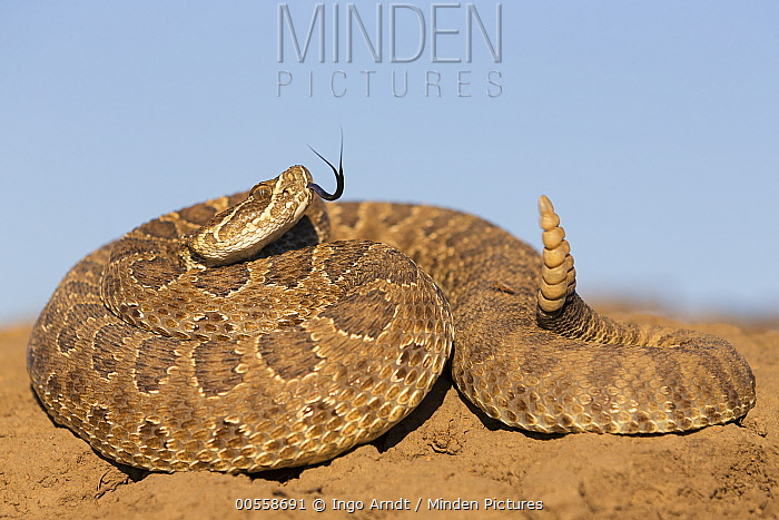 Prairie Rattlesnake (Crotalus viridis viridis) in defensive posture, South Dakota