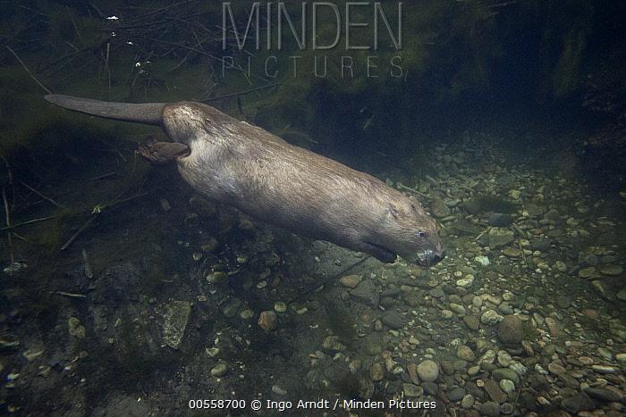 European Beaver (Castor fiber) swimming, France