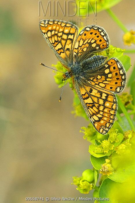 Marsh Fritillary (Euphydryas aurinia) butterfly, Netherlands