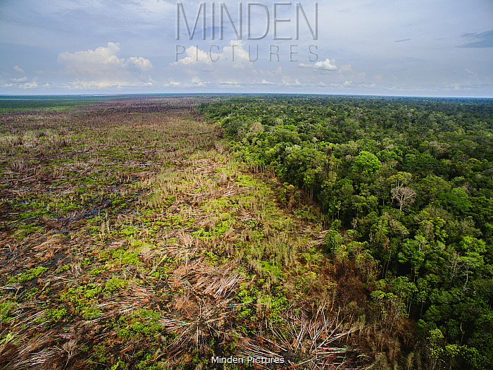 Cleared rainforest for palm oil plantations, Tanjung Puting National Park, Central Kalimantan, Borneo, Indonesia