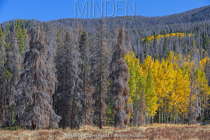 Mountain Pine Beetle (Dendroctonus ponderosae) killed trees, Rocky Mountain National Park, Colorado