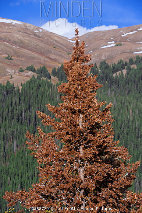 Mountain Pine Beetle (Dendroctonus ponderosae) killed tree, Rocky Mountain National Park, Colorado