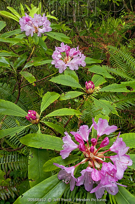 Pacific Rhododendron (Rhododendron macrophyllum) flowering in old growth Coast Redwood (Sequoia sempervirens) forest, Redwood National Park, California