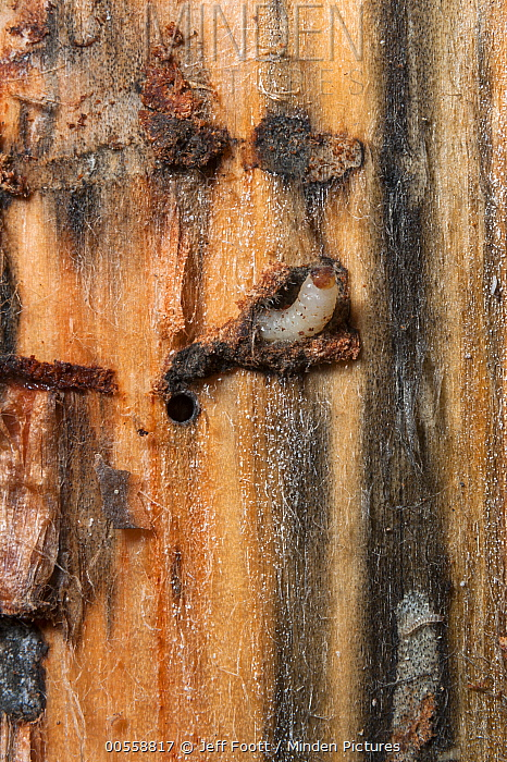 Mountain Pine Beetle (Dendroctonus ponderosae) larva under tree bark, Grand Teton National Park, Wyoming