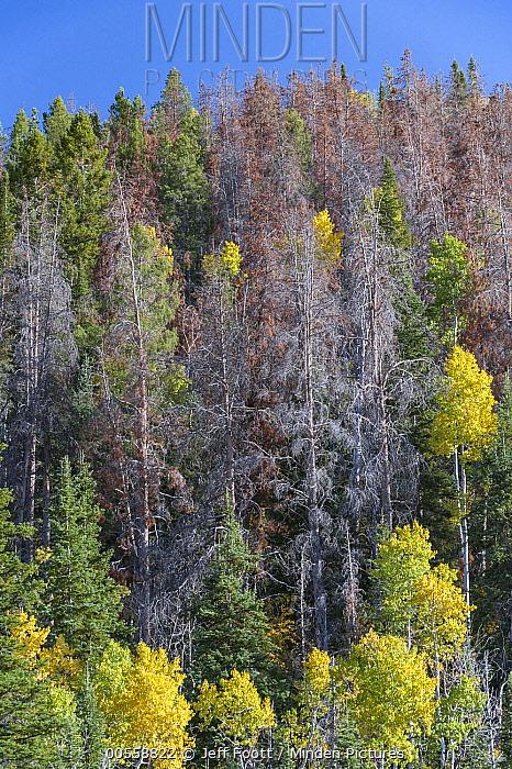 Mountain Pine Beetle (Dendroctonus ponderosae) killed trees, Colorado