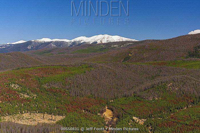 Lodgepole Pine (Pinus contorta) forest killed by Mountain Pine Beetle (Dendroctonud ponderosae), Colorado