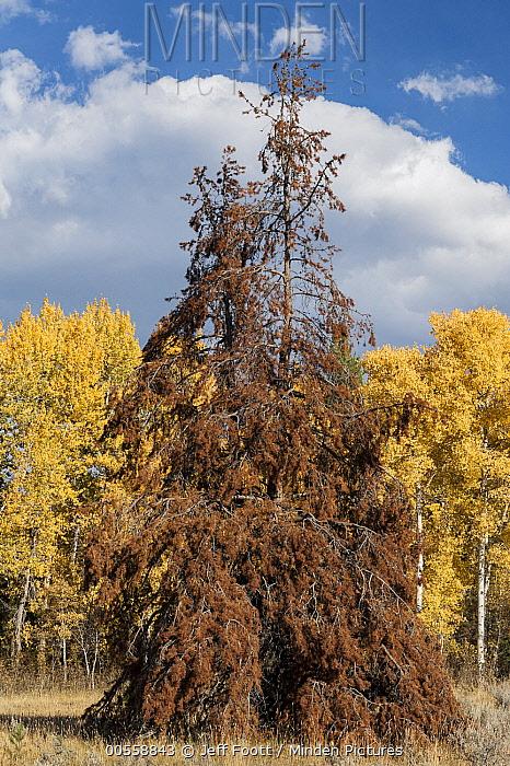 Mountain Pine Beetle (Dendroctonus ponderosae) killed Lodgepole Pine (Pinus contorta), Grand Teton National Park, Wyoming