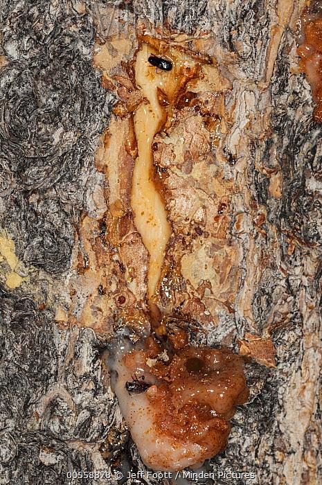 Mountain Pine Beetle (Dendroctonus ponderosae) pair killed by resin, Colorado