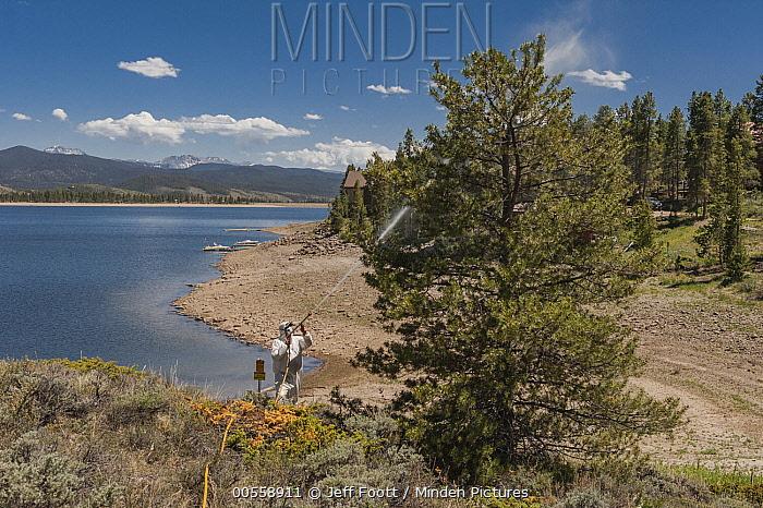 Mountain Pine Beetle (Dendroctonus ponderosae) prevention by spraying pesticides, Grand Lake, Colorado