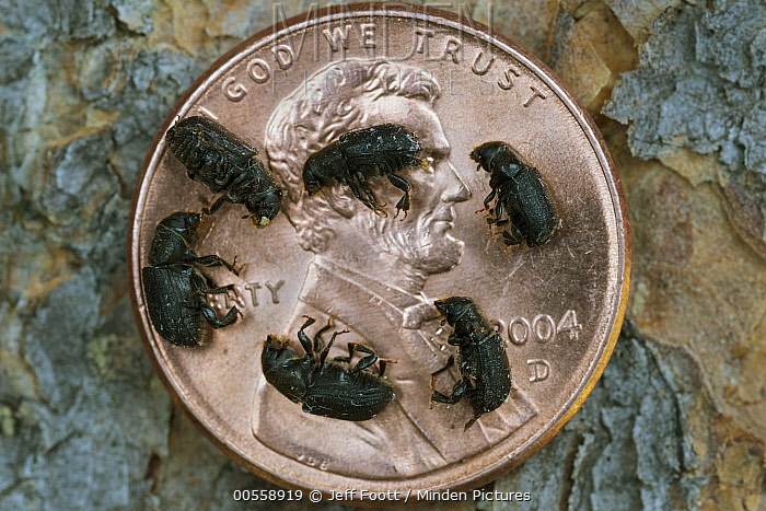 Mountain Pine Beetle (Dendroctonus ponderosae) group of dead adults on penny, Colorado
