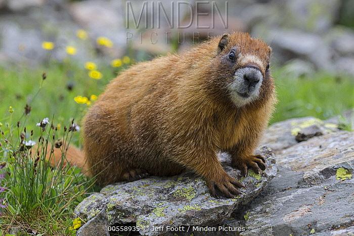 Yellow-bellied Marmot (Marmota flaviventris), Yankee Boy Basin, Uncompahgre National Forest, Colorado