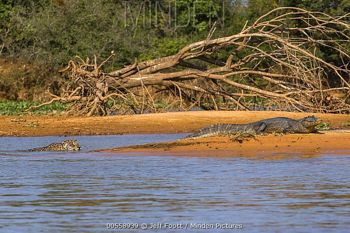 Jaguar (Panthera onca) predating on Spectacled Caiman (Caiman crocodilus), Cuiaba River, Pantanal Matogrossense National Park, Brazil, sequence 1 of 7
