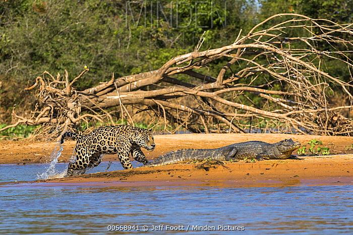 Jaguar (Panthera onca) predating on Spectacled Caiman (Caiman crocodilus), Cuiaba River, Pantanal Matogrossense National Park, Brazil, sequence 3 of 7