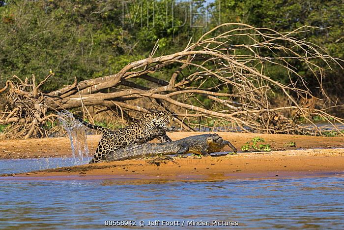 Jaguar (Panthera onca) predating on Spectacled Caiman (Caiman crocodilus), Cuiaba River, Pantanal Matogrossense National Park, Brazil, sequence 4 of 7