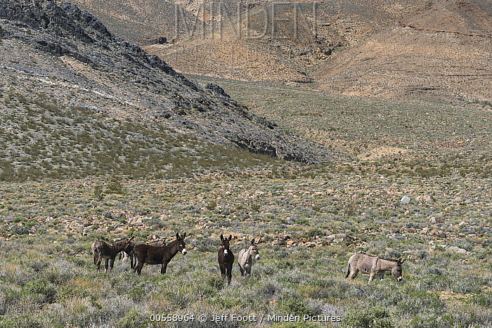 Donkey (Equus asinus) group, Death Valley National Park, California