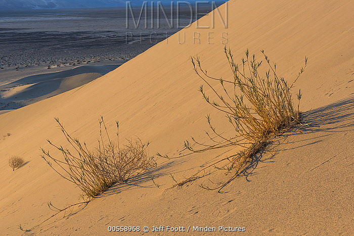 Eureka Dunegrass (Swallenia alexandrae) on sand dune, Euraka Dunes, Death Valley National Park, California