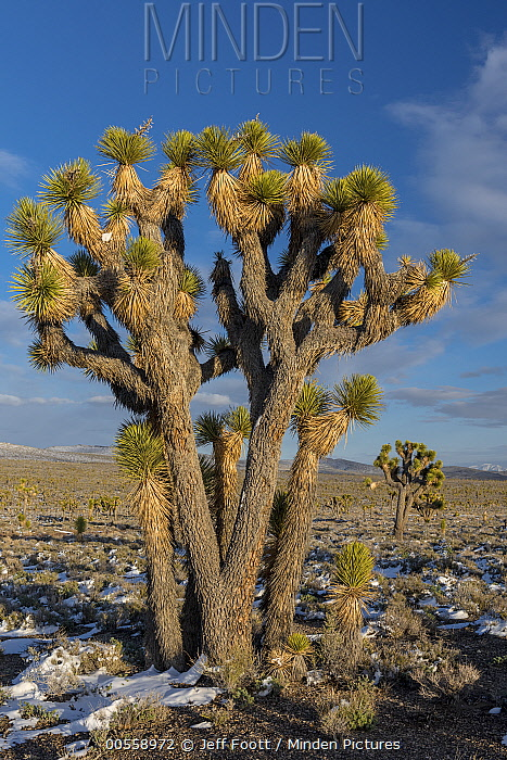 Joshua Tree (Yucca brevifolia), Death Valley National Park, California