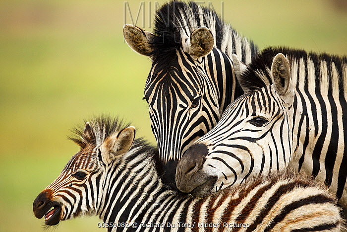 Burchell's Zebra (Equus burchellii) parents tending to foal, Rietvlei Nature Reserve, South Africa