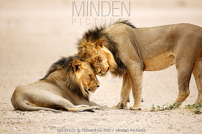 African Lion (Panthera leo) males greeting, Kgalagadi Transfrontier Park, South Africa