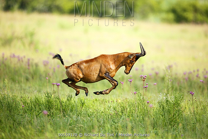 Common Hartebeest (Alcelaphus buselaphus) running, Rietvlei Nature Reserve, South Africa