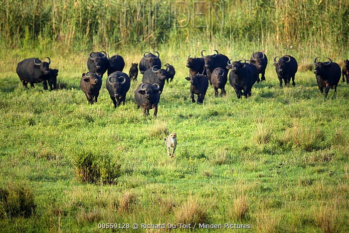 Cape Buffalo (Syncerus caffer) herd chasing away Cheetah (Acinonyx jubatus), Rietvlei Nature Reserve, South Africa