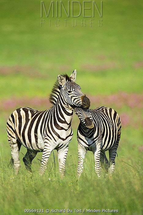 Burchell's Zebra (Equus burchellii) females nuzzling, Rietvlei Nature Reserve, South Africa