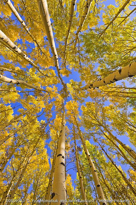 Quaking Aspen (Populus tremuloides) trees in autumn, Utah