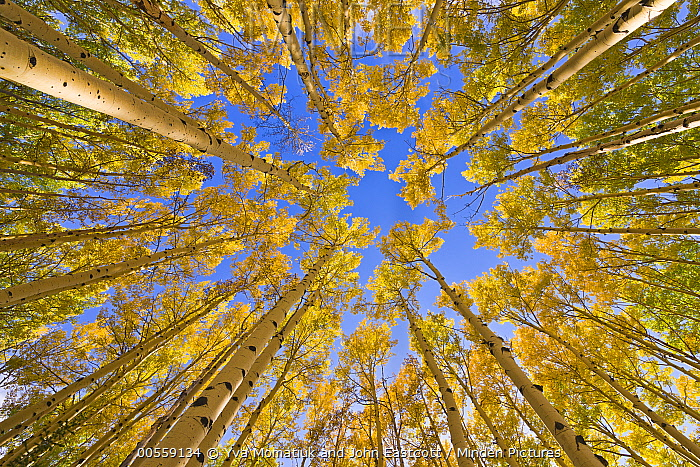 Quaking Aspen (Populus tremuloides) trees in autumn, Utah