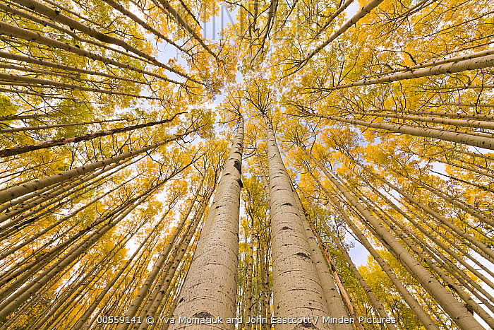 Quaking Aspen (Populus tremuloides) trees in autumn, Rocky Mountains, Colorado