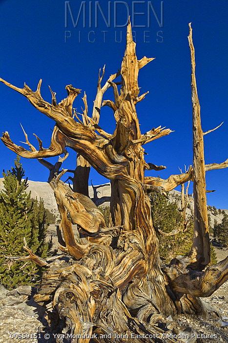 Great Basin Bristlecone Pine (Pinus longaeva) trees, White Mountains, California