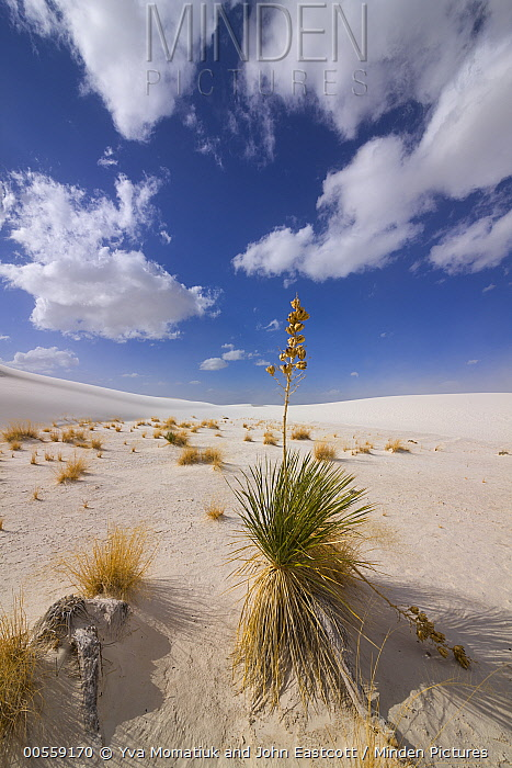 Yucca (Yucca sp) growing on sand dune, White Sands National Monument, New Mexico