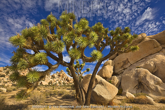 Joshua Tree (Yucca brevifolia) group, Joshua Tree National Park, California