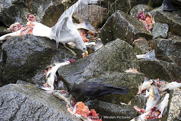 American Crow (Corvus brachyrhynchos) and Bonaparte's Gull (Larus philadelphia) feeding on salmon scraps, Anan Creek, Tongass National Forest, Alaska