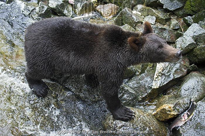 Grizzly Bear (Ursus arctos horribilis) in temperate rainforest, Anan Creek, Tongass National Forest, Alaska