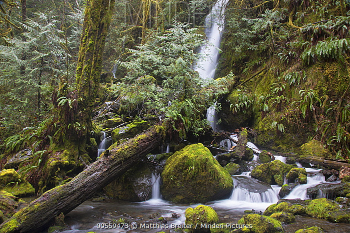 Waterfall and creek in temperate rainforest, Merriman Falls, Olympic National Park, Washington