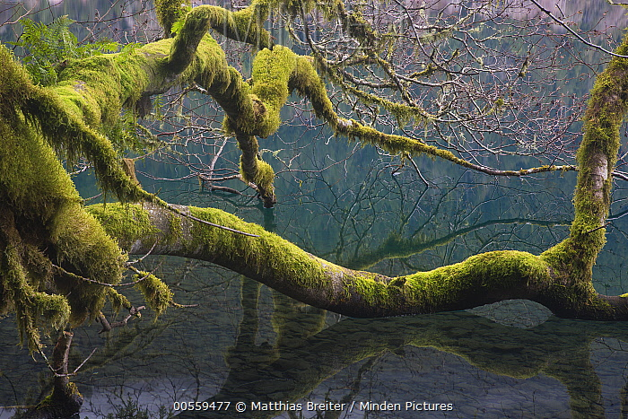 Mossy branches in temperate rainforest, Lake Crescent, Olympic National Park, Washington