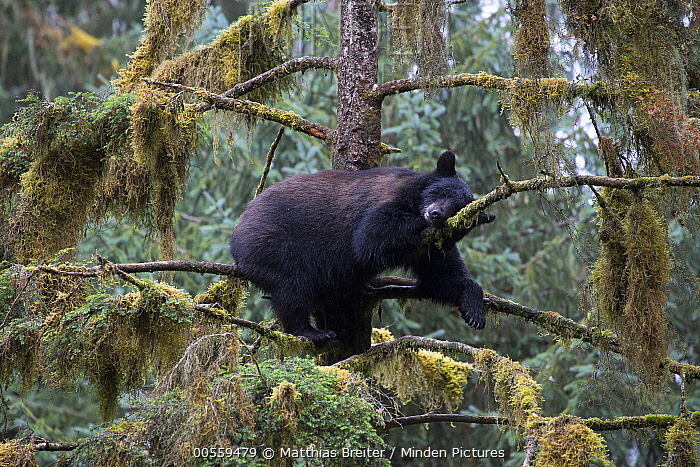 Black Bear (Ursus americanus) sleeping in tree in temperate rainforest, Anan Creek, Tongass National Forest, Alaska