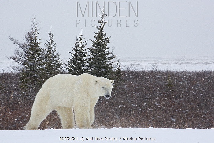 Polar Bear (Ursus maritimus) male in snowstorm, Hudson Bay, Manitoba, Canada