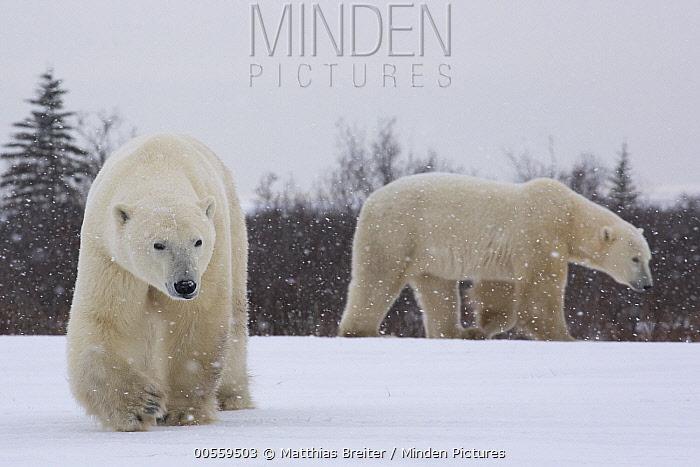 Polar Bear (Ursus maritimus) males in snowstorm, Hudson Bay, Manitoba, Canada