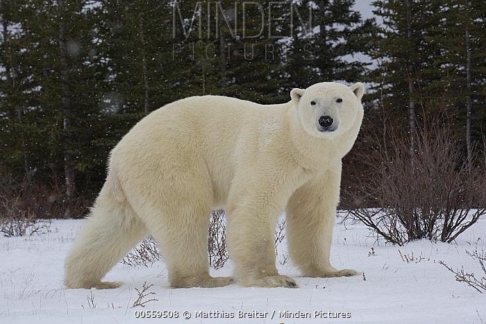Polar Bear (Ursus maritimus) male, Hudson Bay, Manitoba, Canada